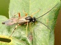 Hyposoter didymator