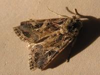Spodoptera littoralis