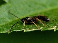 Campoletis sonorensis
