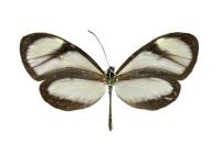 Ithomia salapia